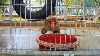 お猿とびかかる.jpg